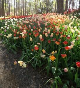 tulips mar28 (11)