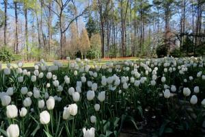 tulips mar28 (14)