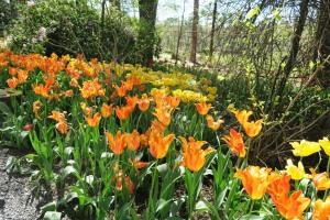 tulips mar28 (15)