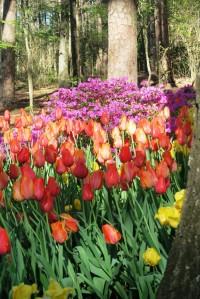 tulips mar28 (5)