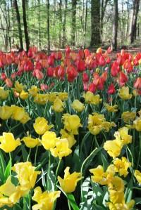 tulips mar28 (8)