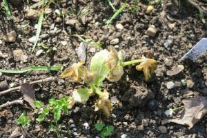 veg damaged by frost mar16.