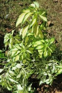 alstromeria variegated.apr8.16