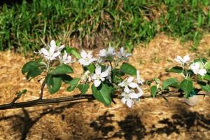 apple tree blooms.162