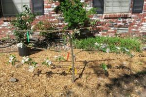 apple tree blooms.163
