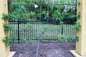apple tree espaliered (1)