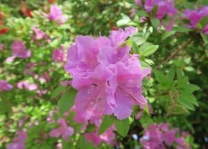 azaleas apr17.161