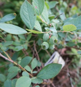 blueberries apr24 (2)