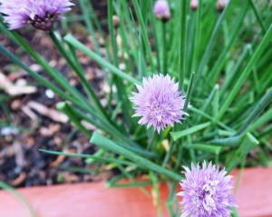 chives apr14.16