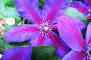 clematis mrs n thompson.163