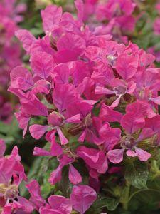 cuphea sriracha pink