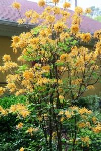 deciduous azalea apr14 (2)