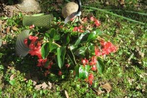 dragon wing begonia apr8.16