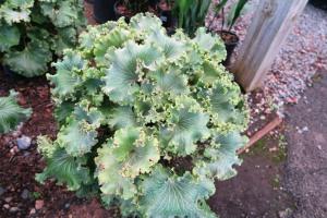 farfugium crested.