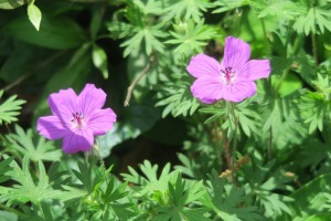 geranium hardy apr17.16