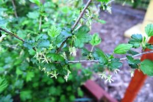 gooseberry blooms apr14.16