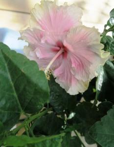 hibisucs tropical pink.ap16