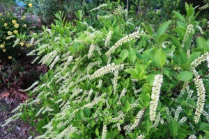 itea blooms apr (1)