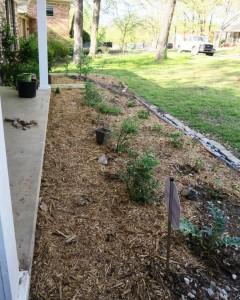 kyles yard mulched (4)