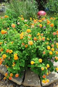 lantana miss huff july.2.15