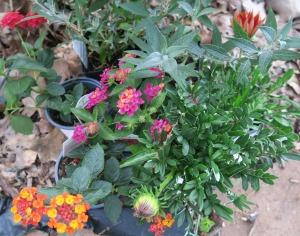 lantana plants.apr16.1