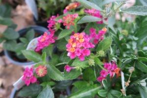 lantana plants.apr16.2
