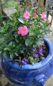 mandevilla planter apr16