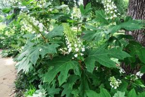 oakleaf hydrangea ap16 tx