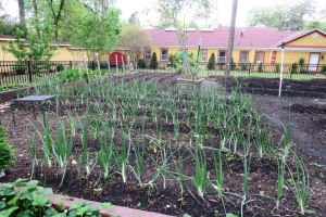 onions apr14 (2)