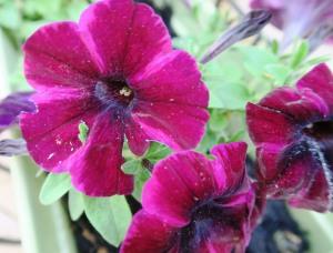 petunias apr14 (3)