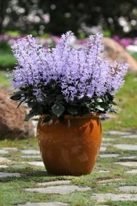 plectranthus velvet elvis in pot.16