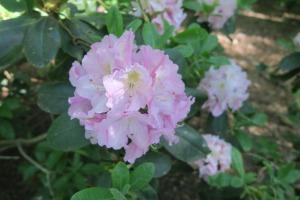 rhododendrons apr.16garv2