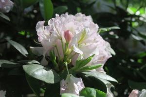 rhododendrons apr.16garv4