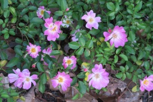 rose drift pink apr24.16