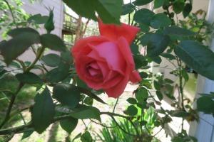 rose kyle.arp16