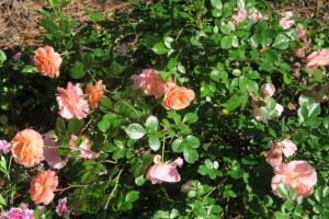 roses garvan apr.162