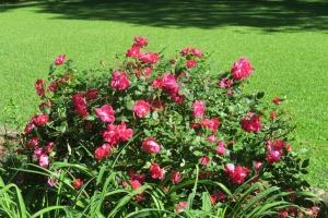 roses garvan apr.163