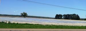 sweet potato production.cross county16 (1)
