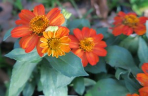 zahara orange zinnias apr.16