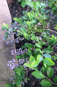 blueberries zold may14.16