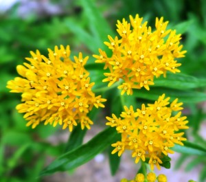 butterfly weed yellow.may19 (1)