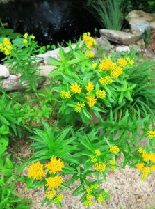 butterfly weed yellow.may19 (3)