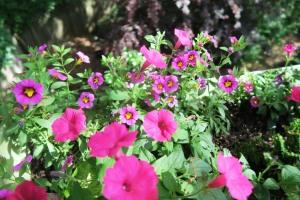 callibrachoa and petunias.ma14 (3)
