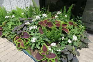 coleus planting.may16