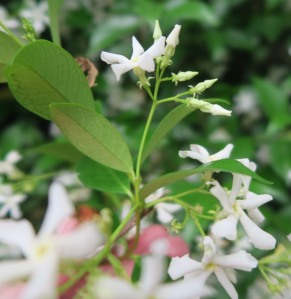 confederate jasmine.may19 (3)