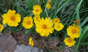 coreopsis.may16
