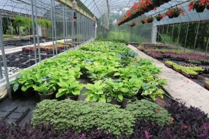 culbertson greenhouses may16 (11)