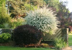 dappled willow fb.a62