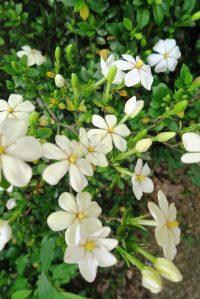gardenia may19 (2)