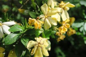 gardenia may28 (1)